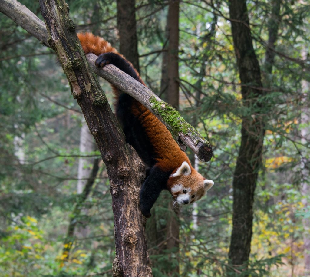 "The day I let my inquisitive, but very sensitive, child watch ""Red Panda: World's Cutest Animal"" on Curiosity Stream and they showed footage of these sweet animals' dead bodies being tossed around by poachers."